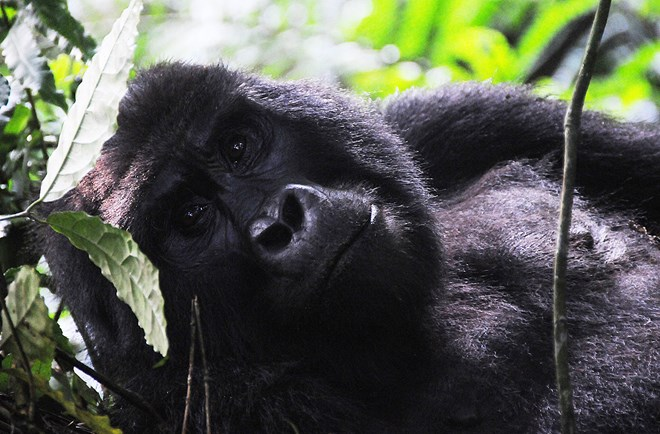 Roadtrip Uganda can obtain your gorilla trekking permits if you hire a car with us